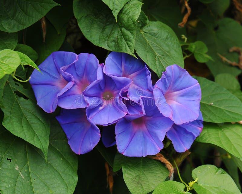 Correhuela gloriosa que florece por la mañana foto de archivo libre de regalías