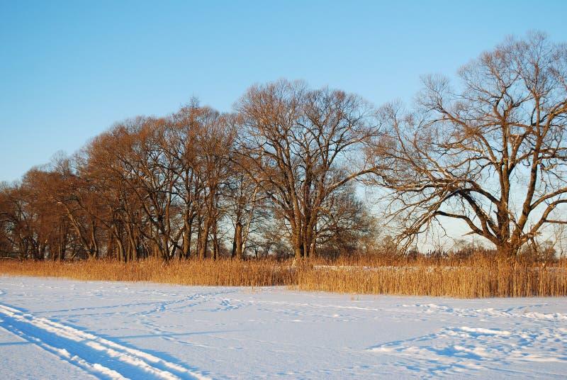 Correia da floresta com uma grama alta e árvores perto do campo Dia de inverno ensolarado gelado foto de stock