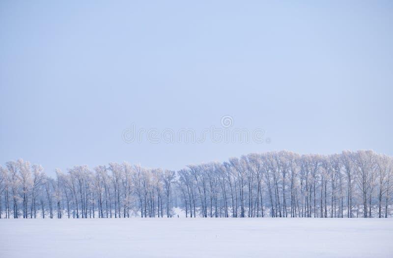Correia da floresta de árvores de álamo sob a geada no campo de neve na estação do inverno fotografia de stock royalty free