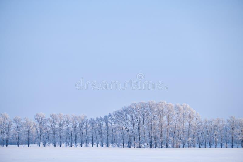 Correia da floresta de árvores de álamo sob a geada no campo de neve na estação do inverno fotos de stock royalty free