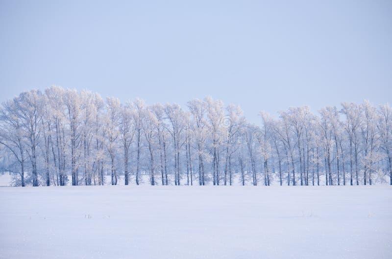 Correia da floresta de árvores de álamo sob a geada no campo de neve na vitória foto de stock royalty free