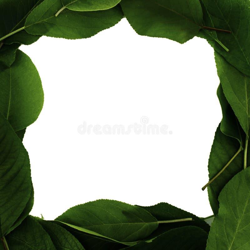 Correia do reparo quadro do folhas de árvores de fruto, cópia-espaço, fundo branco fotos de stock