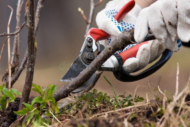 Corrente preta de poda com secateurs fotografia de stock