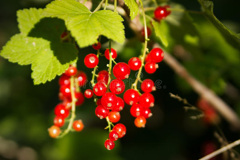 Corrente rossa su un cespuglio nel giardino immagine stock