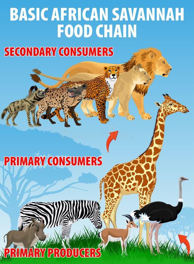 Corrente trófico do alimento africano básico do savana Fluxo de energia do ecossistema da pastagem Vetor ilustração do vetor
