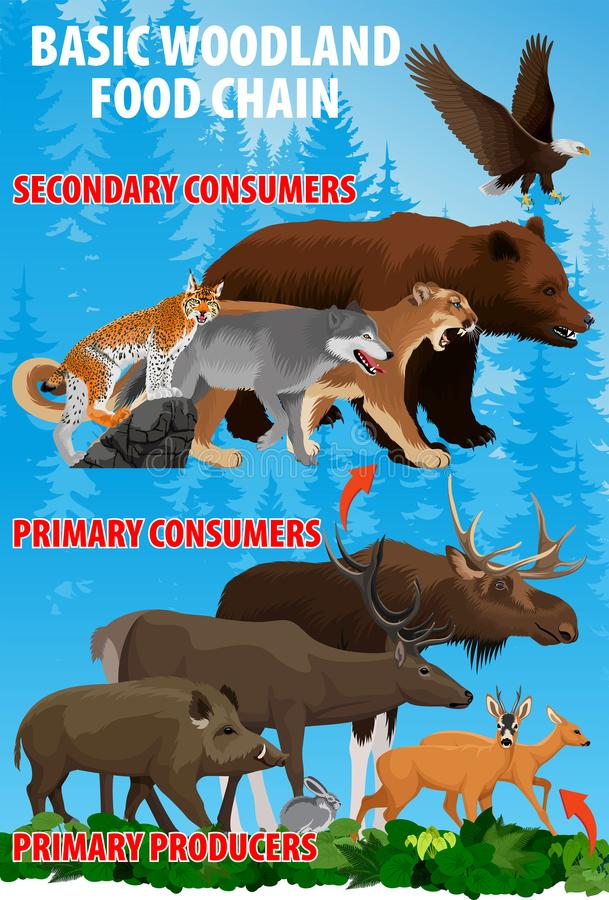 Corrente trófico do alimento básico da floresta Fluxo de energia do ecossistema da floresta Ilustração do vetor ilustração do vetor