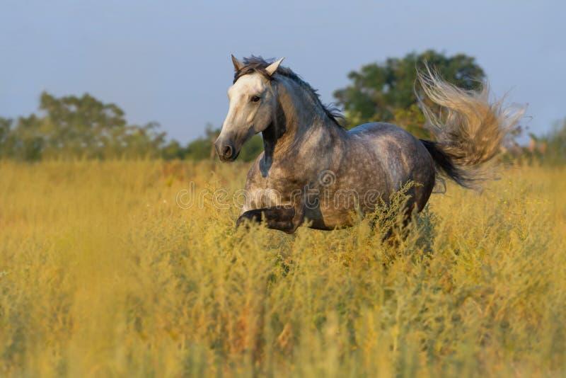 Corrida cinzenta do cavalo imagem de stock royalty free