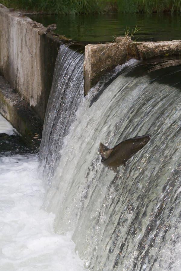 Corrida de los salmones foto de archivo libre de regalías