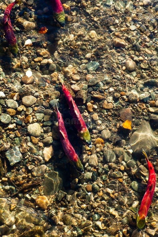 Corrida de los salmones foto de archivo