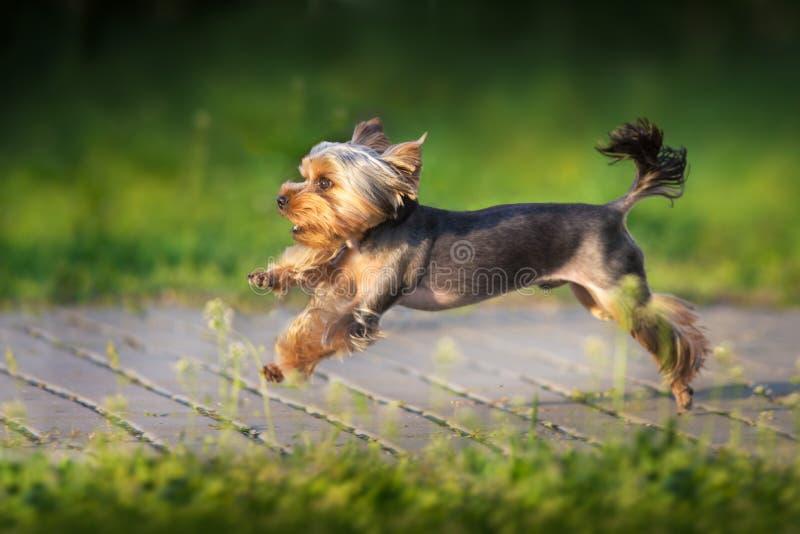 Corrida de Terrier rapidamente foto de stock royalty free