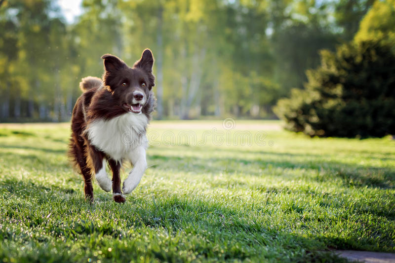 Corrida do cão de border collie fotos de stock royalty free