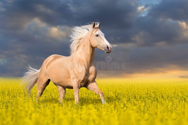 Corrida do cavalo do Palomino fotografia de stock royalty free