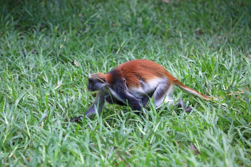 Corrida do macaco na floresta fotografia de stock