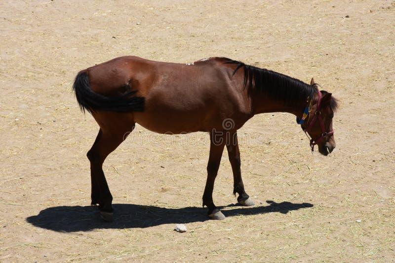 Corrida do rebanho do cavalo Galope, dianteiro imagens de stock royalty free