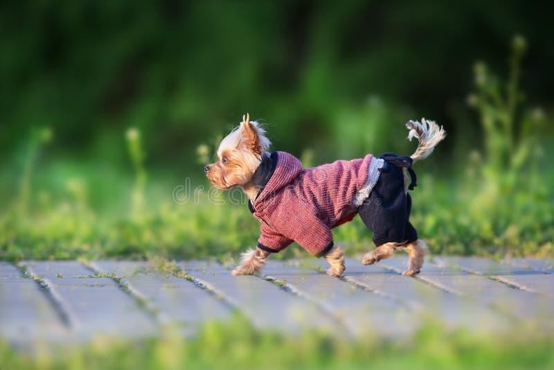 Corrida do yorkshire terrier foto de stock