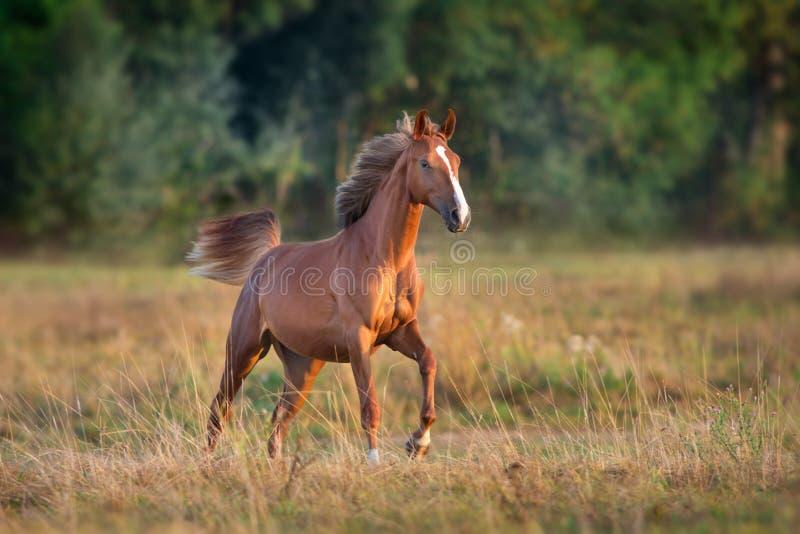 Corrida vermelha da égua no campo fotos de stock royalty free