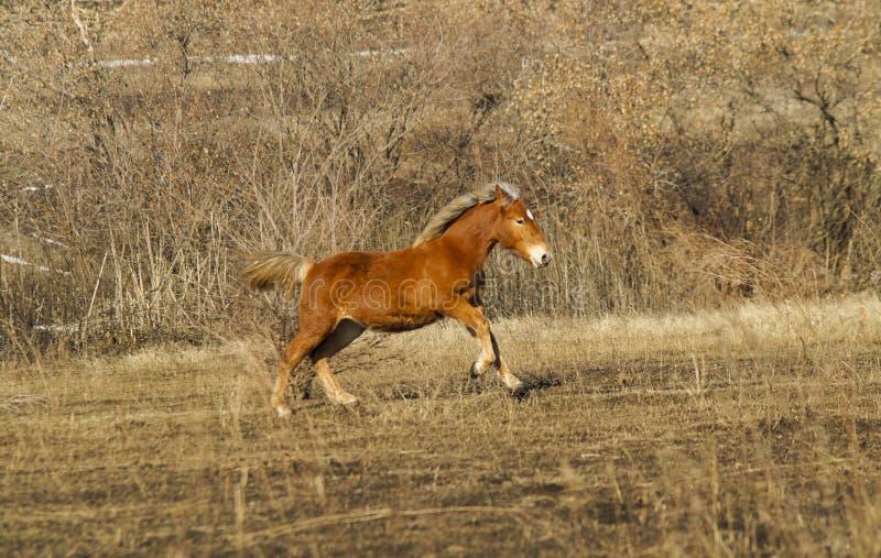 Corrida vermelha rápida do cavalo no campo fotografia de stock royalty free