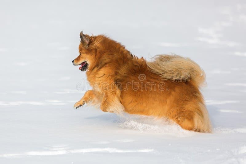 Corridas do cão de Elo na neve foto de stock royalty free