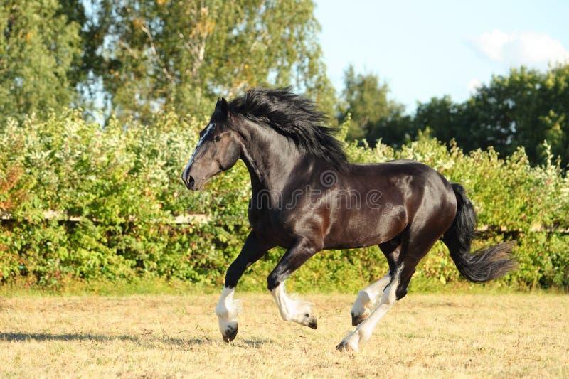 Corridas do garanhão do cavalo de Vanner do cigano fotografia de stock royalty free