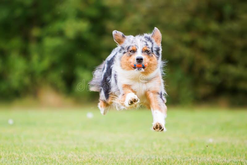 Corridas e saltos do cão para uma bola imagens de stock