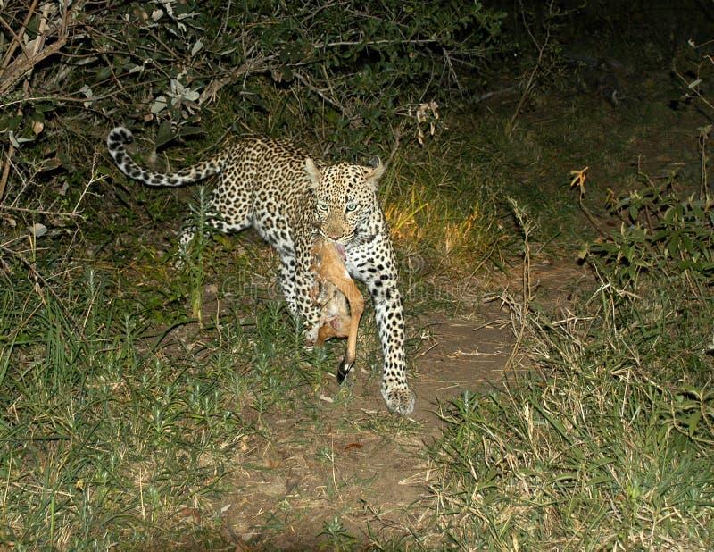 Corridas femeninas del leopardo con ella matanza foto de archivo