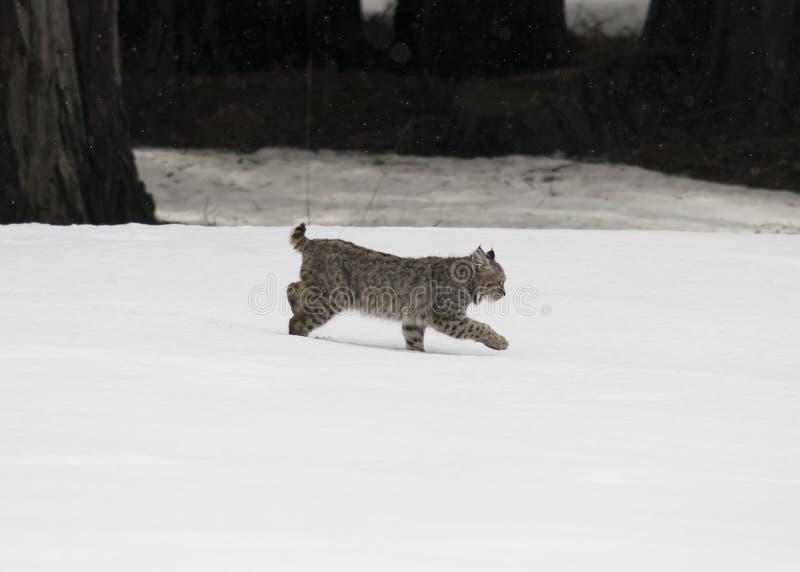 Corridas novas do lince na neve fotografia de stock royalty free