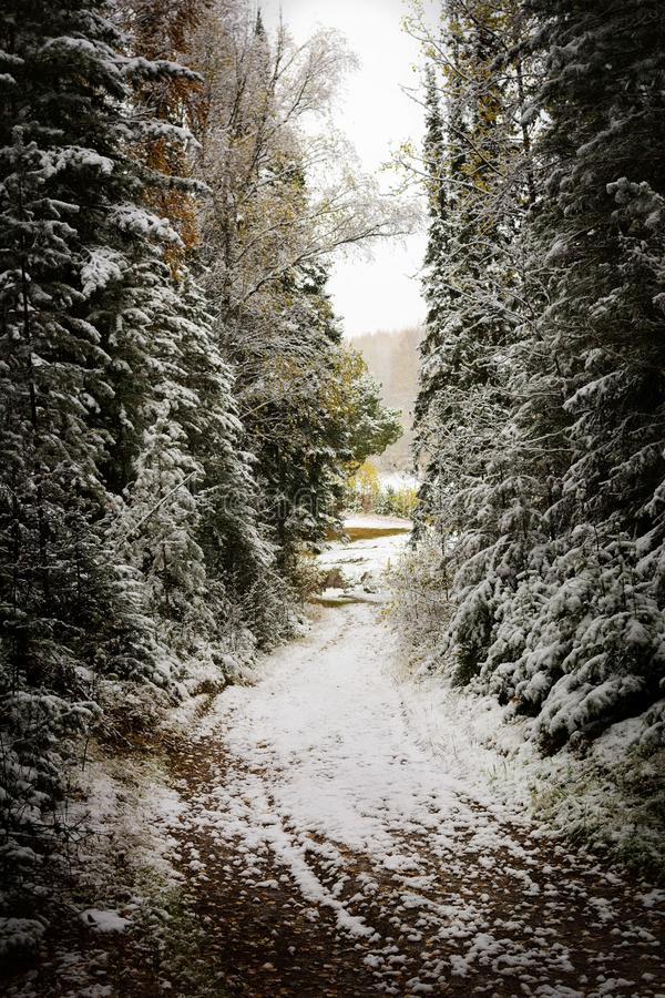 The corridor between tall pine trees covered with snow. The dark and gloomy passage in the woods. royalty free stock image