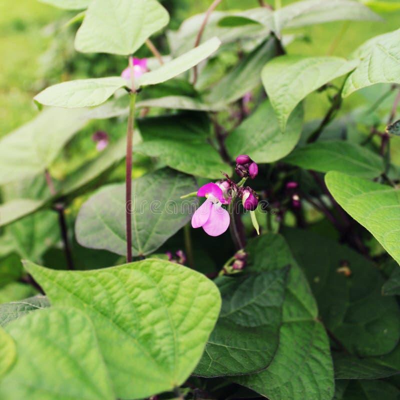 Corridore Bean Plant con il fiore in un orto immagine stock