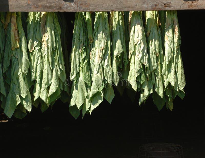Corriger le tabac en feuilles d'ombre images stock