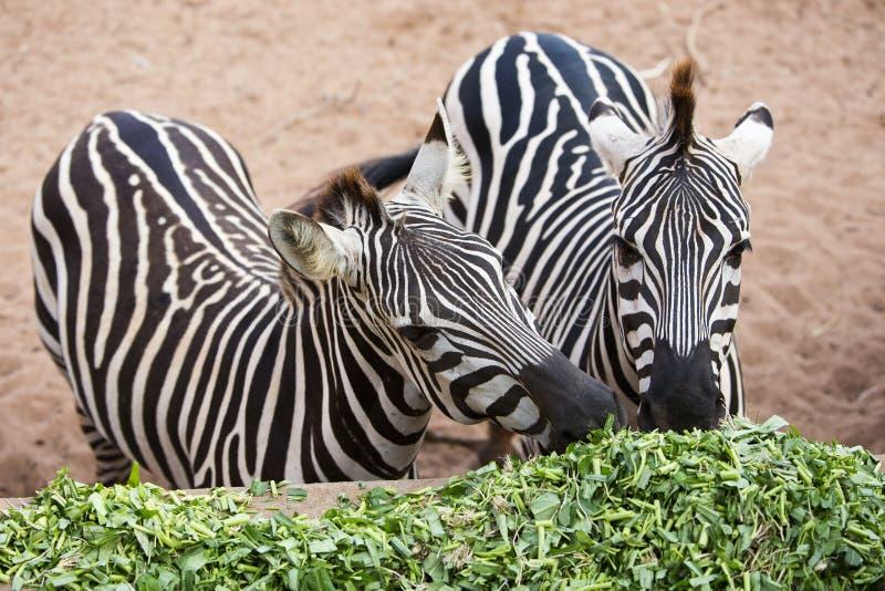 Corriola comer da zebra fotos de stock royalty free