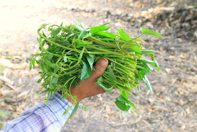 A corriola fresca, folhas vegetais macias da palavra de Pak-BoongThai, corriola nas mãos dos fazendeiros, cultiva o vegeta fresco fotografia de stock
