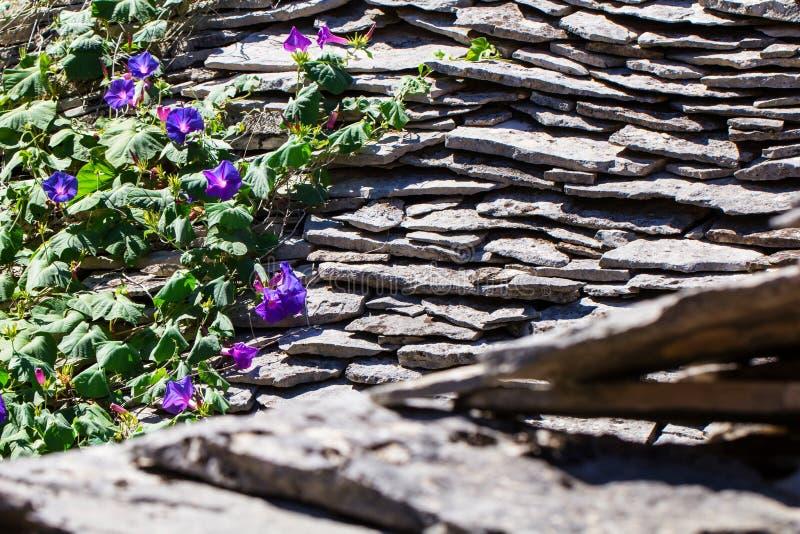 Corriola roxa bonita da flor na escalada da flor da mola fotografia de stock