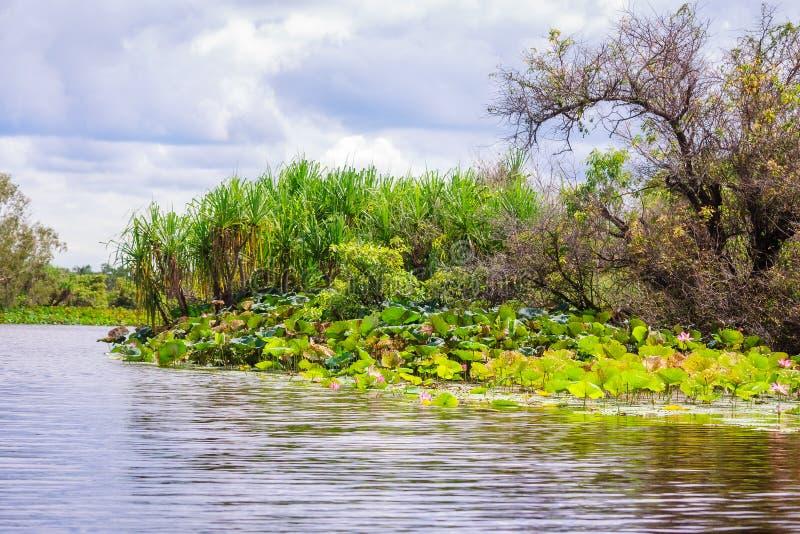 Corroboree Billabong stillhet bevattnar, med dess banker som täckas i lotusblommor i det nordliga territoriet, Australien arkivbilder