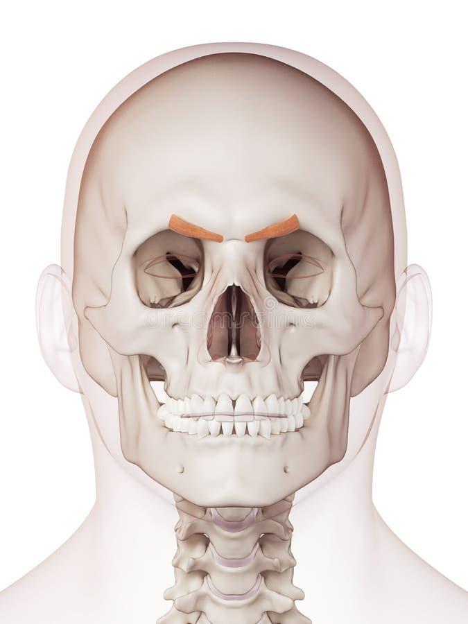 the corrugator supercilii stock illustration - image: 57547944, Human Body