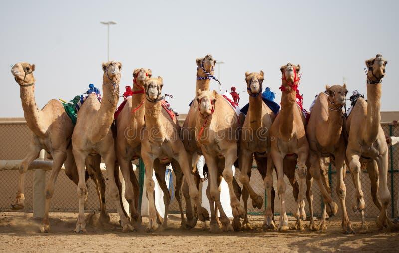 Corsa di cammello fotografie stock