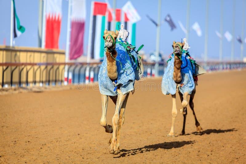 Corsa di cammello nel Dubai fotografia stock