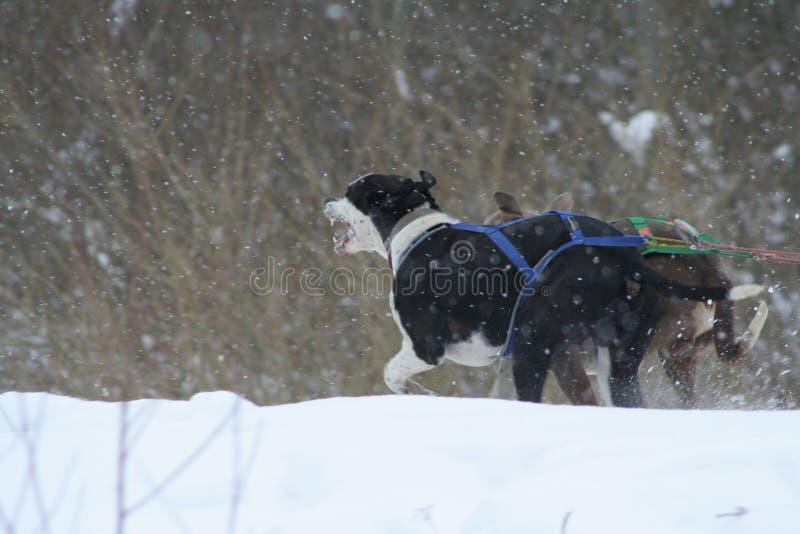Corsa di cani del husky fotografia stock