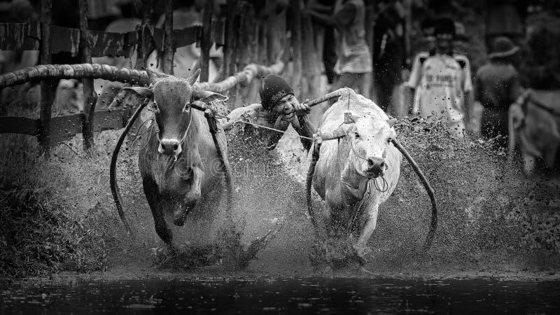 Corsa di Pacu Jawi fotografia stock