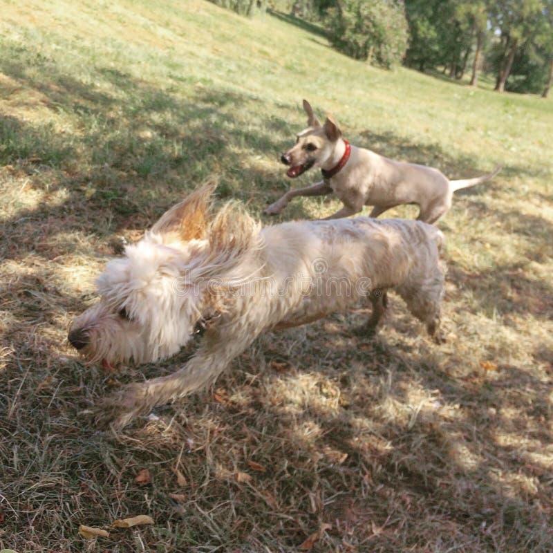 Corsa felice dei cani fotografia stock