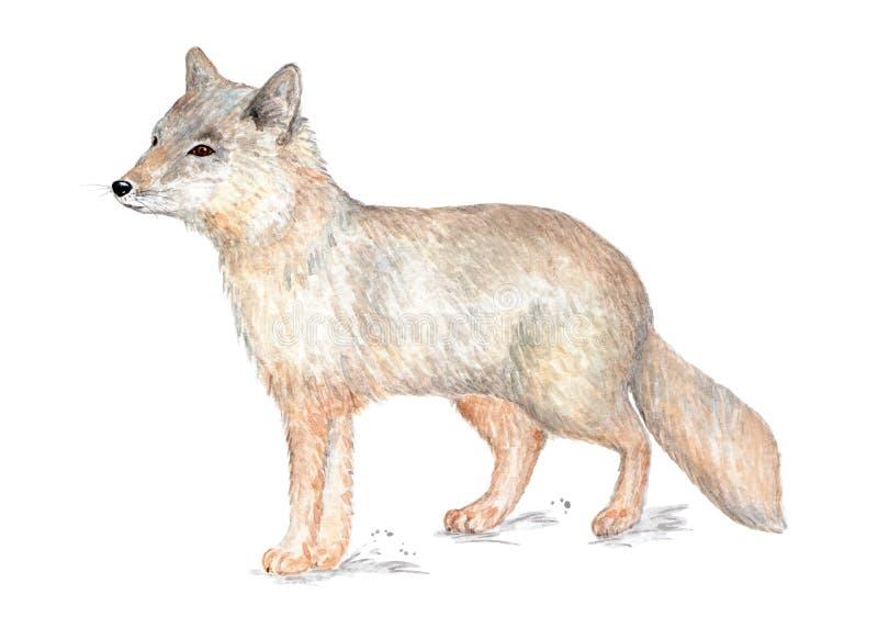 Corsac狐狸 在水彩绘的例证 库存例证
