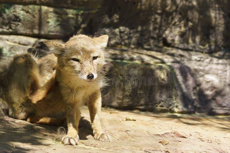 Corsac lub stepu Fox lat Corsac Vulpes - mięsożerny ssak genus lisy z rodziny psów obrazy royalty free