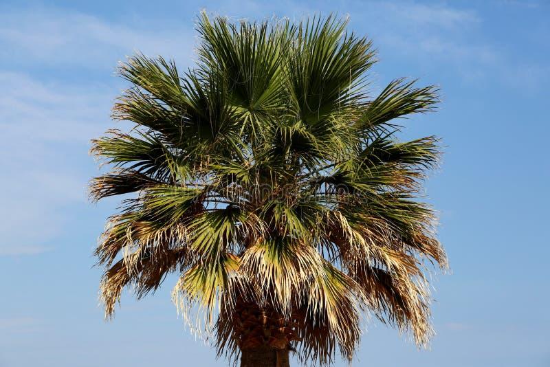 corsica wyspy śródziemnomorska palmowa fotografia brać drzewo fotografia royalty free