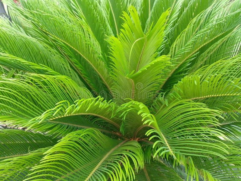 corsica wyspy ?r?dziemnomorska palmowa fotografia bra? drzewo fotografia royalty free