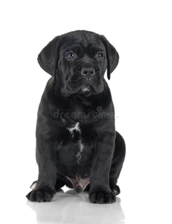 Corso тросточки щенка стоковые фотографии rf