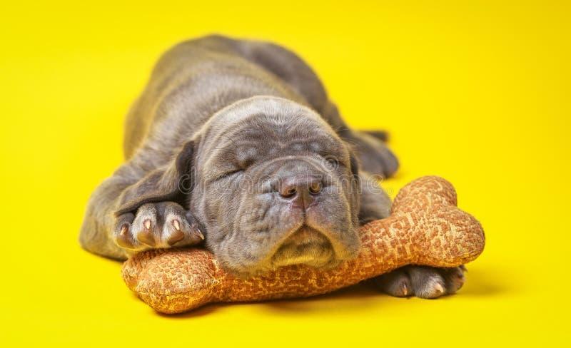 Corso тросточки mastiff красивого молодого серого щенка итальянские & x28; 1 month& x29; стоковое изображение rf