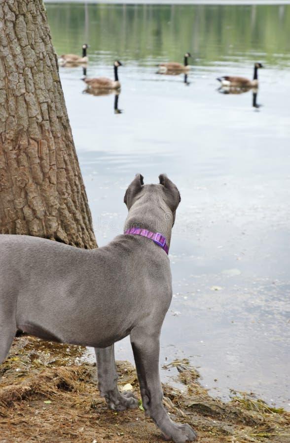 Corso тросточки mastiff 4 месяцев старое итальянское на озере стоковое изображение