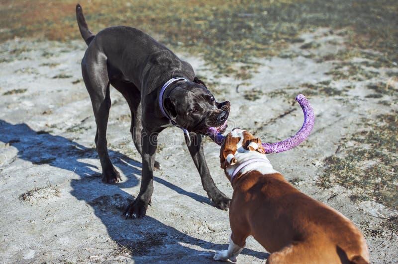 Corso de canne de deux le jeune chiens et un terrier de Staffordshire américain jouent avec un jouet sur la rue image libre de droits