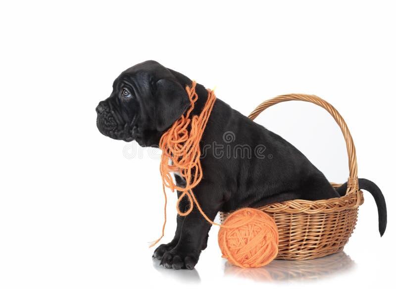 Corso del bastón del perrito fotos de archivo libres de regalías