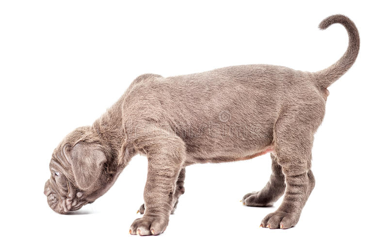 Corso della canna del mastino del bello giovane cucciolo nero & x28 italiani; 1 month& x29; fotografia stock