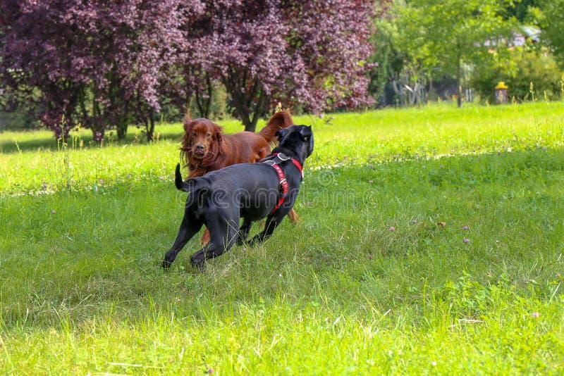 Corso des Irischen Setters und des Stocks spielen im Sommerstadtpark Zwei Hunde stockfotografie